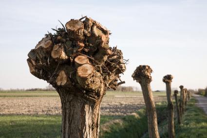 Knotbomen op Walcheren. © Rijksdienst voor het Cultureel Erfgoed